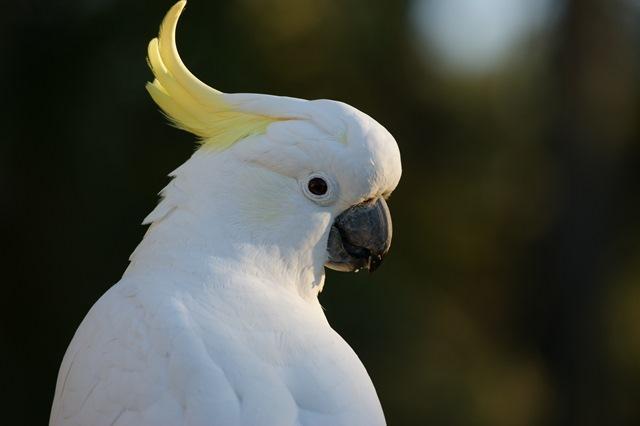 cockatoo-583921