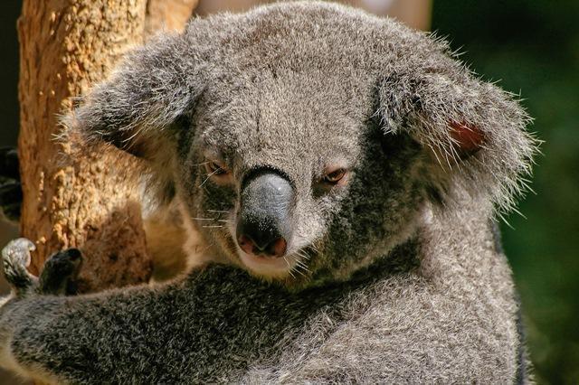 koala-446876